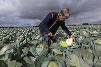 Checking quality of Dutch white cabbage - Lincolnshire, September