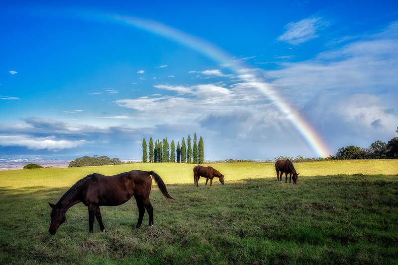 Horses in pasture with rainbow. Upcountry, Maui, Hawaii