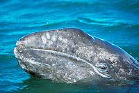 Curious California gray whale, Eschrichtius robustus, calf spy-hopping in San Ignacio Lagoon, Baja, Mexico, Pacific Ocean