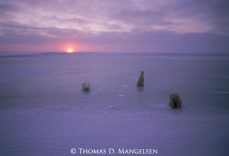 Three polar bears laying and sitting on the ice at sunset at Hudson Bay, Churchill, Manitoba, Canada.