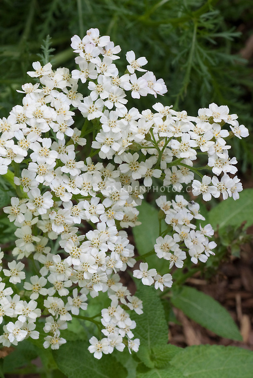 Achillea millefolium, white, wild yarrow