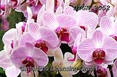 Gisela, FLOWERS, BLUMEN, FLORES, photos+++++,DTGK2552,#f#, EVERYDAY ,orchids