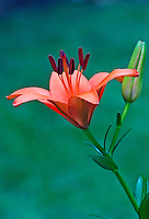 Orange Day Lily and bud