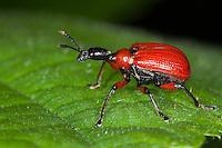 Haselblattroller, Haselblatt-Roller, Haselnuss-Dickkopfroller, Blattroller, Apoderus coryli, hazel weevil, Hazel leaf-roller weevil, Hazel leaf-rolling weevil, Attelabidae, leaf-rolling weevils