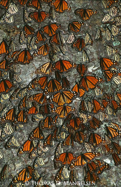 The Gathering - Monarchs..El Rosario Monarch Butterfly Sanctuary, Mexico. Print 1552