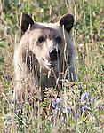Photos of Bears in Montana & Wyoming