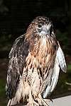 Red-tailed Hawk, full body view, vertical