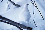 Rock ptarmigan in winter plumage, Washington.