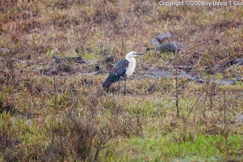 White-necked Heron in rain, Yuragir NP, NSW, Australia