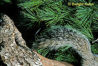 MA22-022z  Gray Squirrel - close up of tail - Sciurus carolinensis.