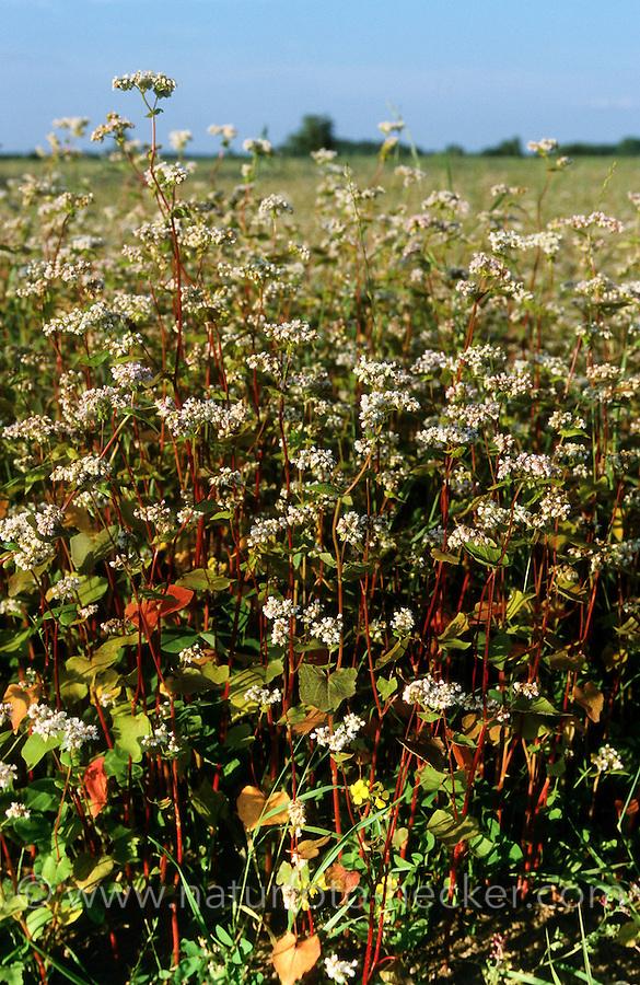 Echter Buchweizen, Anbau auf Feld, Acker, Fagopyrum esculentum, Buckwheat