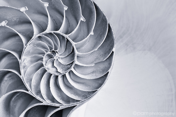 Black and white close up of inside of nautilus shell