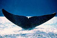 bowhead whale, Balaena mysticetus, fluke, Okhotsk Sea ( NW Pacific Ocean )