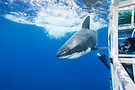 Guadalupe Island, Baja California, Mexico; photographing a great white shark from inside a shark cage near the water's surface