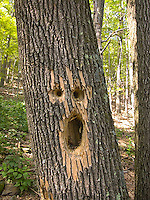 Face in tree trunk caused by woodpecker<br />