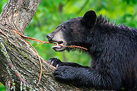 Young male Black Bear (Ursus americanus) chews on a strand of tree bark.  Black Bears are omnivores - they eat anything they can get in their mouths - and this guy proved it by swallowing a few pieces of this bark.
