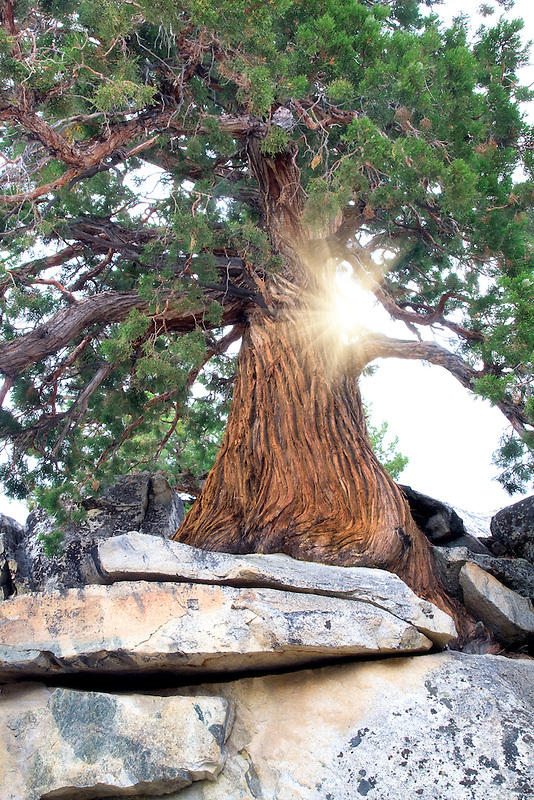 Juniper tree growing in rock. Inyo National Forest. California
