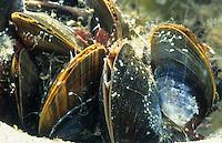 Gemeine Miesmuschel, Muschelbank, mit geöffneter Ein- und Ausströmöffnung unter Wasser, Mytilus edulis, bay mussel, common mussel, common blue mussel