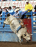 Greeley, Colorado - 7/04/2009 - Copyright Rick Davis - PRCA cowboy Marcus Michaelis of Caldwell, Idaho scored an 86 point bull ride on the Beutler & Son Rodeo Company bull Tokyo Drift during action at the 87th annual Greeley Stampede Rodeo. A two head score of 167 points earned Marcus the 2009 Bullriding Championship.
