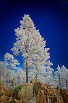 Frosted Pine, Ski Mountain, Colorado