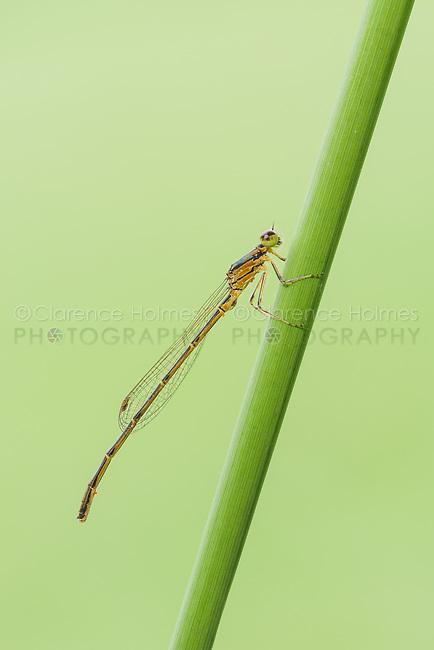 A teneral male Fragile Forktail (Ischnura posita) damselfly perches on a plant stem.