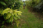 Rainforest cacao:  One- year-old cacao tree in a rainforest in southern Belize.  Farmer in background inspecting his cacao trees interspersed with other vegetation.
