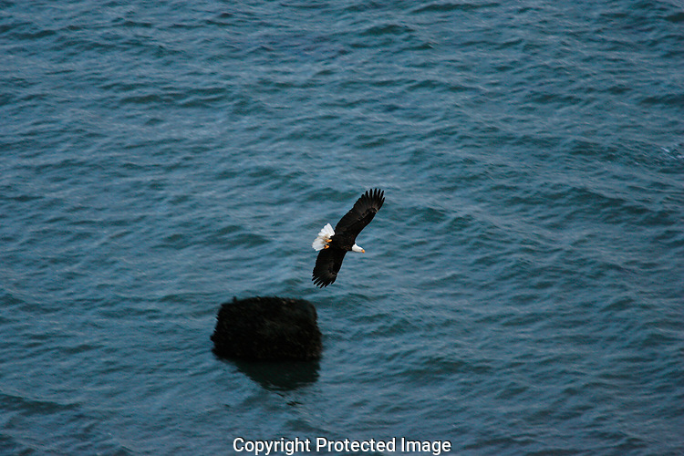 A Bald Eagle flies low over the water in search of fish.