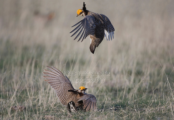 Lesser Prairie-Chicken, Tympanuchus pallidicinctus, males fighting, Canadian, Panhandle, Texas, USA.Digitally added on canvas on top and head feather tip