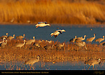 Snow Geese Landing at Sunset, Bosque del Apache Wildlife Refuge, New Mexico