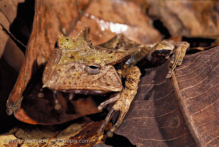 Peruvian Casque-headed Tree Frog (Hemiphractus helioi) camouflaged among leaf litter in lowland tropical rainfroest, Manu National Park, Peru.