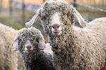 Molly and Maria, Angora Goats