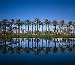 Palm Trees at Palm Desert, California