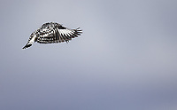 I've always been a fan of Pied Kingfishers, which often hover in place while hunting.