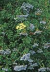 15900-CC California or Blue Elderberry, Sambucus mexicana, fruiting branches in August at Luther Burbank Home & Garden, Santa Rosa, CA USA