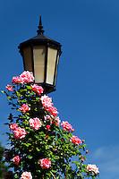 Pink roses climb a light pole, International Rose Test Garden, Washington Park, Portland, Multnomah County, Oregaon, USA