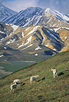 Dall sheep rams stand alert on a mountain ridge overlooking Polychrome mountains, Denali National Park, Alaska.