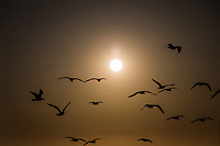 More than a dozen gulls fly, in sillhouette. with the filtered evening sun front and center.  A winter evening along San Francisco Bay.