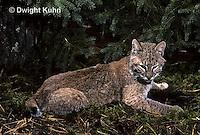MA26-092z  Bobcat - young - Felis rufus