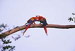Scarlet macaws (Ara macao), Llanos region, Venezuela<br /> Canon EOS-1N<br /> Canon EF 500mm IS lens<br /> May 1998