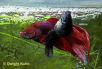 BY05-047z  Siamese Fighting Fish - male mating with egg laden female - Betta splendens