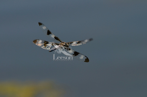Male Twelve-spotted Skimmer Dragonfly (Libellula pulchella) flying across small pond.  Pacific Northwest.  Summer.