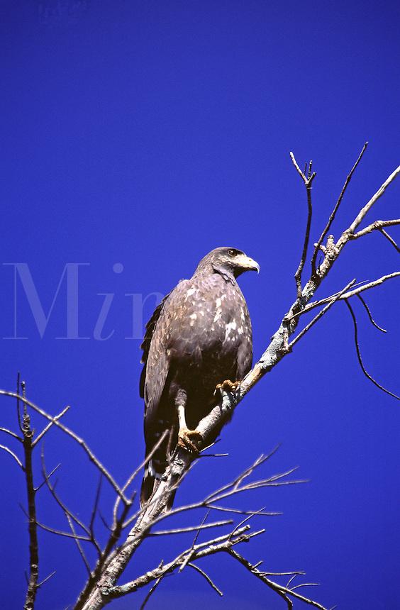 Common Black Hawk, Buteogallus anthracinus. Cuba Cienaga de Zapata National Park.