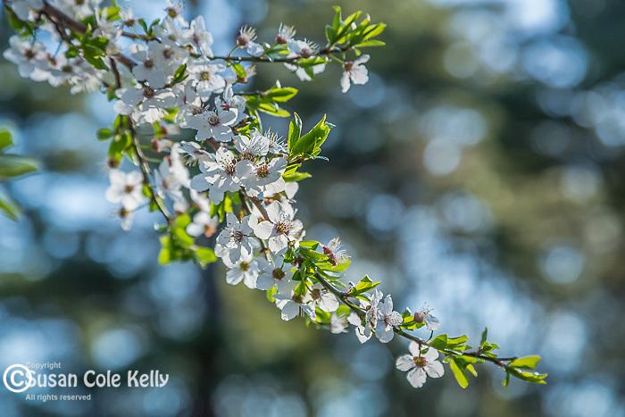 Plum blossoms at the Arnold Arboretum in Jamaica Plain, Boston, Massachusetts, USA