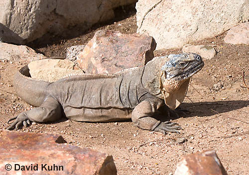0629-1102  Exuma Island Iguana (Northern Bahamian Rock Iguana), Bahamas, Cyclura cychlura figginsi  © David Kuhn/Dwight Kuhn Photography