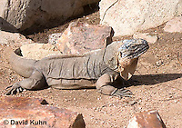 0629-1102  Exuma Island Iguana (Northern Bahamian Rock Iguana), Bahamas, Cyclura cychlura figginsi  © David Kuhn/Dwight Kuhn Photography