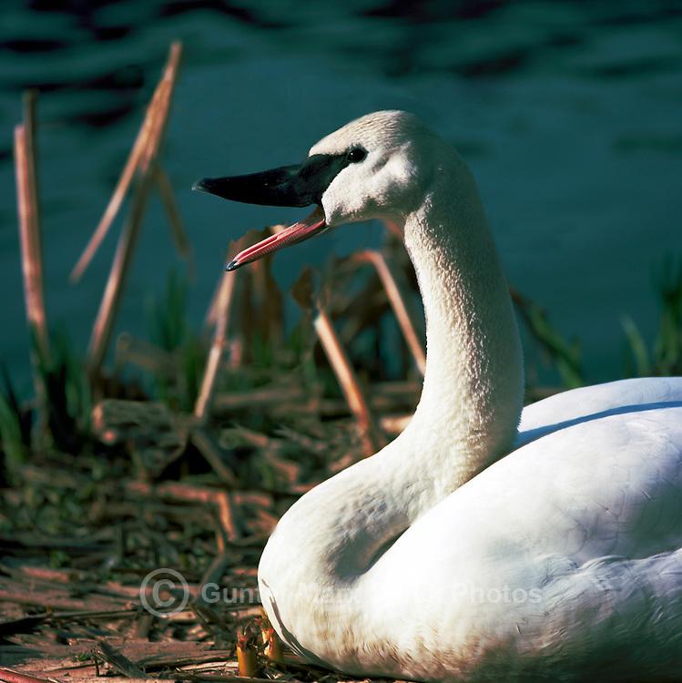 Trumpeter Swan (Cygnus buccinator aka Olor buccinator) sitting on Nest - North American Birds and Swans