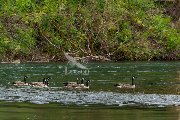 Canada Geese, Nisqually River, WA.  July.