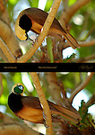 Bird of Paradise I Have Feet Empress of Germany Bird of Paradise Young Male Composite Image