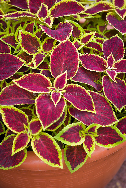 (Solenostemon) Coleus 'Versa Crimson Gold' annual foliage plant with leaf color of red maroon edged in yellow. RHS Award of Garden Merit AGM. aka 'Pas733805'