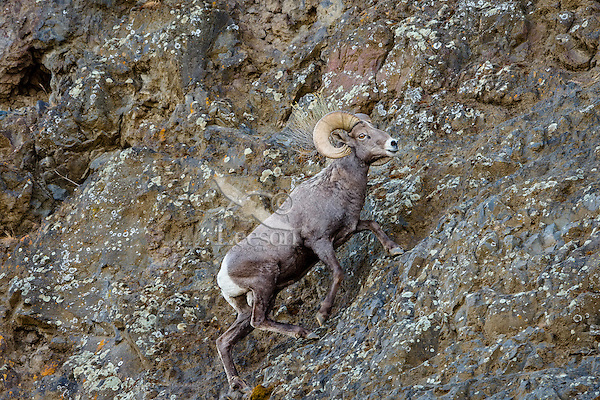 Bighorn Sheep Ram (Ovis canadensis) climbing up narrow ledge on basalt cliff face.  North Central Oregon.  Fall.  These sheep were formerly known as California Bighorn, but are now classified with Rocky Mountain Bighorn.